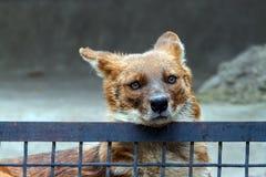 Lobo vermelho atrás da cerca Imagem de Stock