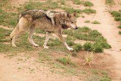 Lobo Stock Image