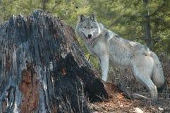 Lobo y tocón Imagenes de archivo