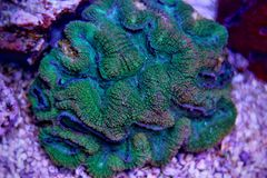 Lobophylia-LANGSPIELPLATTEN korallenrot Lizenzfreie Stockbilder