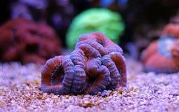 Lobophylia-LANGSPIELPLATTEN korallenrot Stockfoto