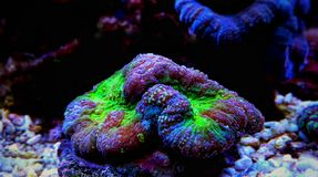 Brain LPS Coral, Lobophyllia hemprichii. Lobophyllia Brain Coral is a large polyp stony LPS coral often referred to as a Lobed, Colored, Carpet, Flat, or Open royalty free stock photos