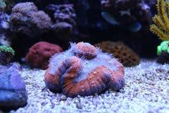 Lobophyllia-LANGSPIELPLATTEN korallenrot Lizenzfreies Stockbild