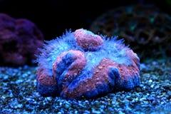 Lobophyllia-LANGSPIELPLATTEN korallenrot Stockfotografie