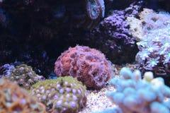 Lobophyllia-LANGSPIELPLATTEN korallenrot Stockfotos