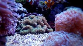 Lobophyllia-LANGSPIELPLATTEN korallenrot Stockbilder