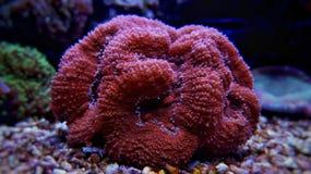Lobophyllia-LANGSPIELPLATTEN korallenrot Lizenzfreie Stockbilder