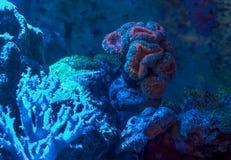 Lobophyllia sp., brain coral. Reef tank, marine aquarium. Fragment of blue aquarium full of water plants. Royalty Free Stock Image