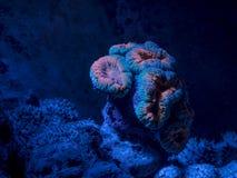 Lobophyllia sp., brain coral. Reef tank, marine aquarium. Fragment of blue aquarium full of water plants. Stock Image