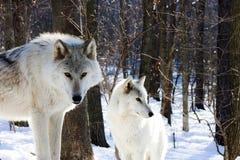 Lobos árticos Imagens de Stock