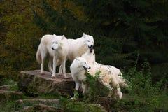 Lobos árticos - arctos del lupus de canis imagen de archivo