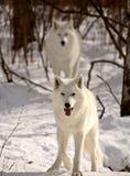 Lobos árticos en invierno Fotografía de archivo
