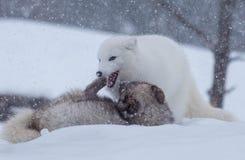 Lobos árticos que jogam na neve fotografia de stock royalty free