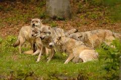 Lobos Foto de archivo