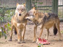 Lobos Fotos de archivo