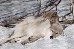 Lobos Foto de archivo libre de regalías