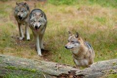 lobos Imagem de Stock
