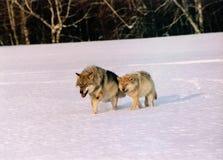 Lobos   Fotografia de Stock Royalty Free