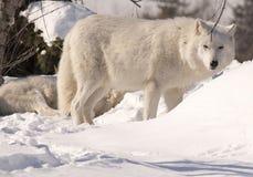 Lobos blancos en nieve Fotografía de archivo libre de regalías