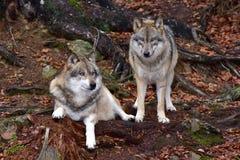 Lobos cinzentos imagem de stock