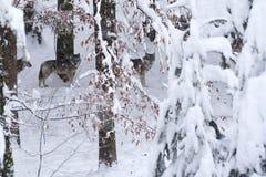 Lobos cinzentos (lúpus de Canis) nas madeiras nevado. imagens de stock royalty free