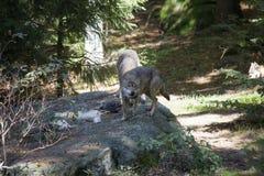 Lobos con la presa foto de archivo libre de regalías