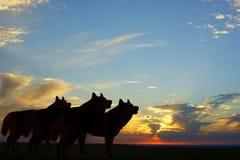 Lobos crepusculares Fotos de Stock Royalty Free
