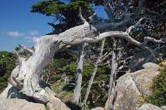 Lobos Cypress della pinta Fotografia Stock Libera da Diritti