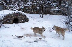 Lobos de combate Imagens de Stock