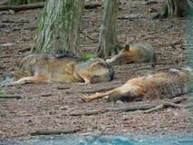 Lobos de descanso imagem de stock