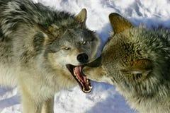 Lobos de la lucha Fotos de archivo libres de regalías