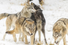 Lobos de la tundra imagenes de archivo