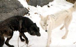 Lobos de madeira Imagem de Stock