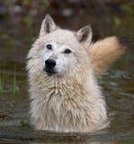 Lobos de madeira Fotos de Stock