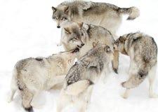 Lobos de madeira Imagem de Stock Royalty Free