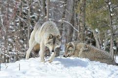 Lobos de madeira masculinos e fêmeas Imagens de Stock Royalty Free