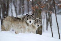 Lobos de madeira no inverno Imagens de Stock