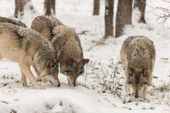 Lobos de madeira no jogo no inverno imagens de stock