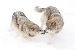 Lobos de madera Fotos de archivo libres de regalías