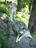 Lobos de madera en el bosque Fotografía de archivo