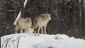 Lobos de madera en invierno metrajes