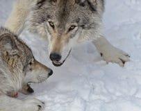 Lobos de madera juguetones Fotografía de archivo