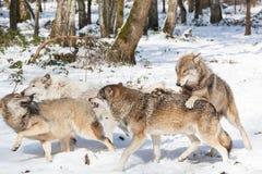Lobos de madera que luchan Foto de archivo libre de regalías