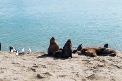 Lobos de mar debajo del sol Fotografía de archivo libre de regalías