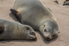 Lobos de mar que descansan en la cruz del cabo - Namibia Foto de archivo