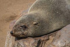 Lobos de mar que descansan en la cruz del cabo - Namibia Imagen de archivo