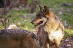 Lobos en bosque Fotos de archivo