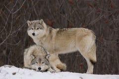 Lobos en invierno Fotos de archivo libres de regalías