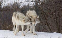 Lobos en nieve Fotografía de archivo libre de regalías