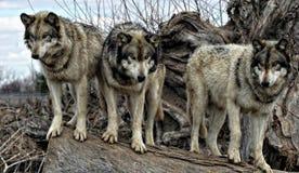 Lobos en un registro Imagen de archivo libre de regalías